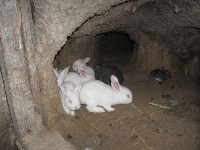 soderzhanie krolikov v jame