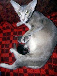 ориентальная кошка роды