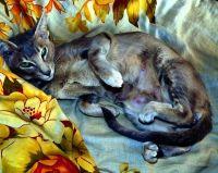 ориентальная кошка беременность