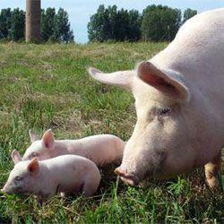 Голяма бяла порода свиня с прасенца
