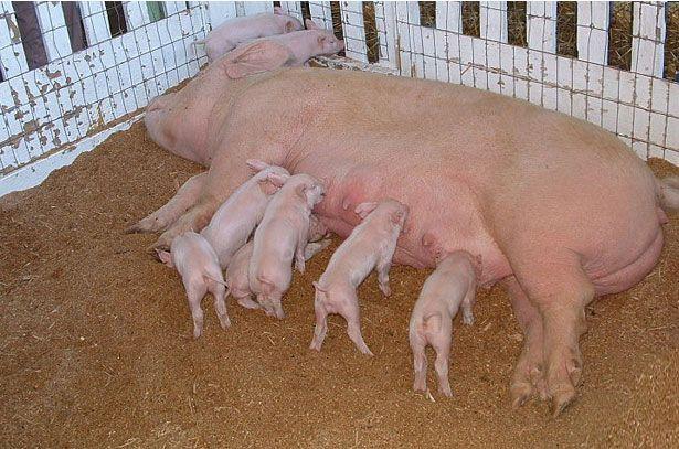 Свине майки и прасета от голяма бяла порода