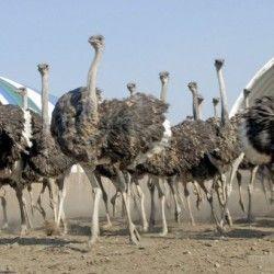 Разведение страусов на украине перспективный бизнес