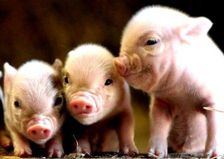 Условия, необходимые для разведения свиней