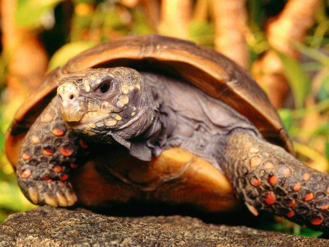 Nisu svi kornjače su spore.