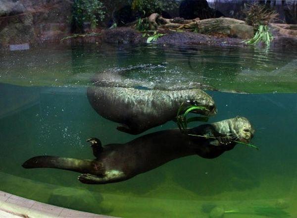 U Velikoj Britaniji je Centar za monitoring giganta vidra