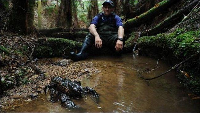 Cel mai mare dintre tasmanieni Raci de apă dulce