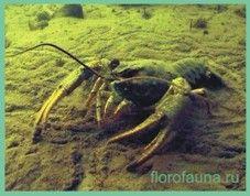 Rechnoyrak / Astacus fluviatilis