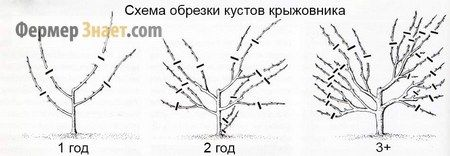Схема обрезки кустов крыжовника