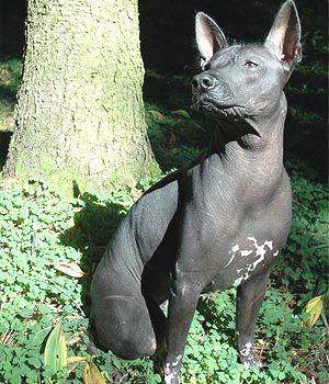 Najneobičniji - stručnjaci pas razmatraju takve ksolointtskuintli pasa (Meksički golokoži pas).