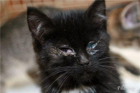 Ринотрахеит у кошек — лечение, причины заболевания, симптомы и предупреждение