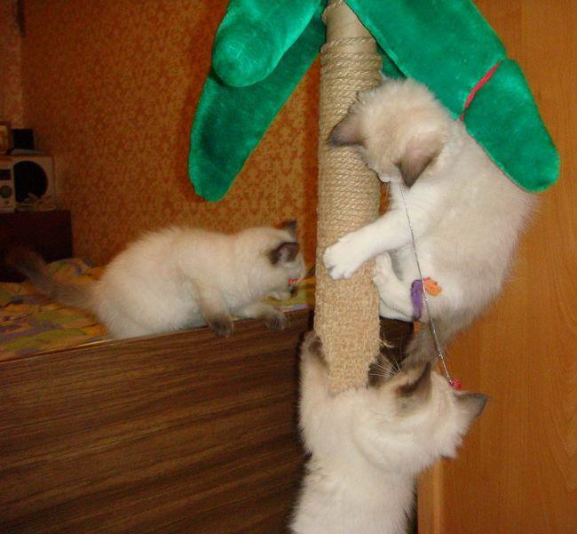Рэгдоллы очень доверчивы и не ожидают ничего плохого ни от людей, ни от собак, ни от других кошек.