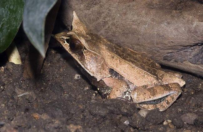 Rogati žaba jede male insekata i crva.