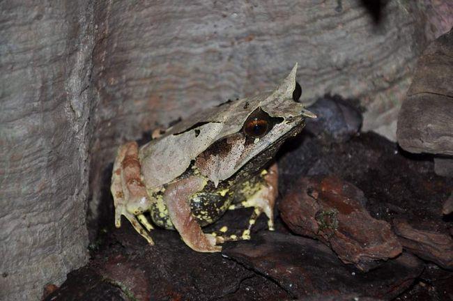 Kada je sadržaj pali žaba potrebno ih je ležao debeli sloj mekog tla, svjetlo labav tla uz dodatak pijeska.