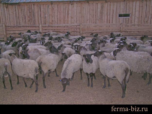 Романовская овца может жить даже на камчатке!