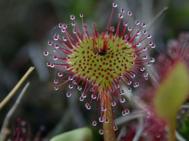 Росянка, мухоловка, непентесы, саррацения - насекомоядные растения