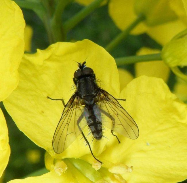 Vzhľadom k tomu, vývojový cyklus múch vyrážať drobný hmyz v krátkom časovom období môžu množiť obrovské množstvo.