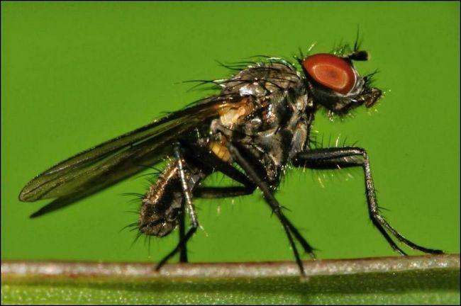Po prezimovaní generácie výhonok letí neuveriteľne žravé, takže úplne zničené larvy obľúbené semená.