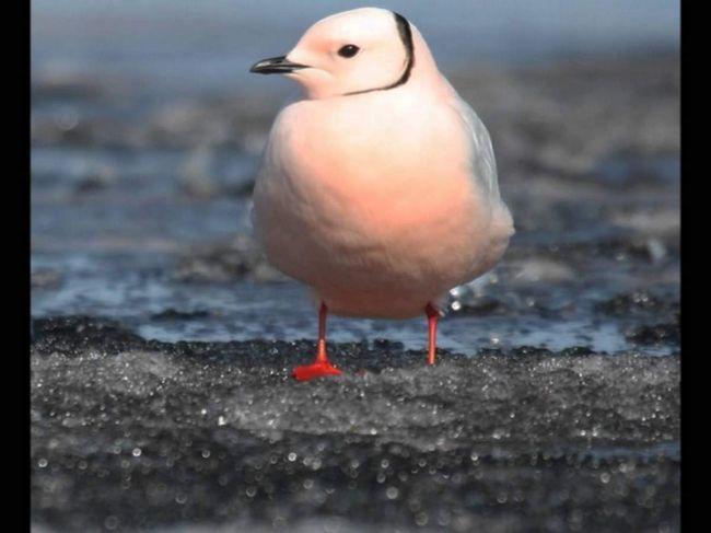 Розовая чайка - небольшая птица.