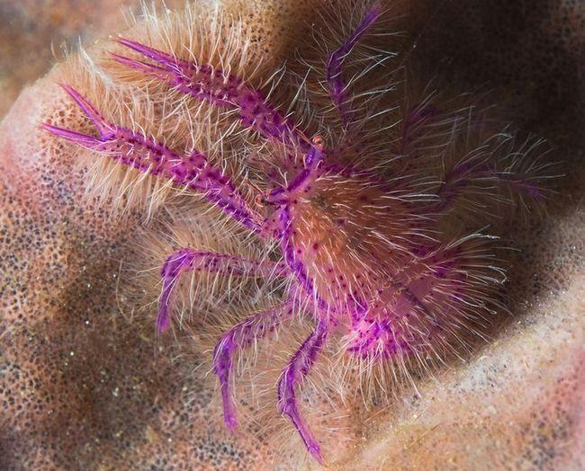Pink čučanj jastoga (lat. Lauriea siagiani)