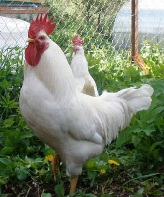 русская белая порода кур