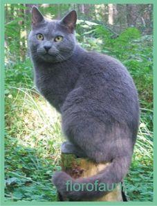 Russkayagolubaya mačka.