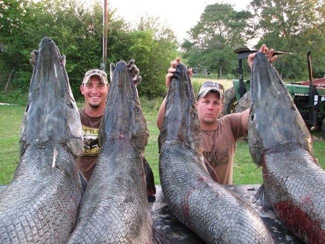 У этой рыбы враг - человек. Люди ловят аллигаторовую щуку ради соревнования... и даже не едят ее