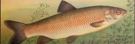 Рыба белый амур фото описание