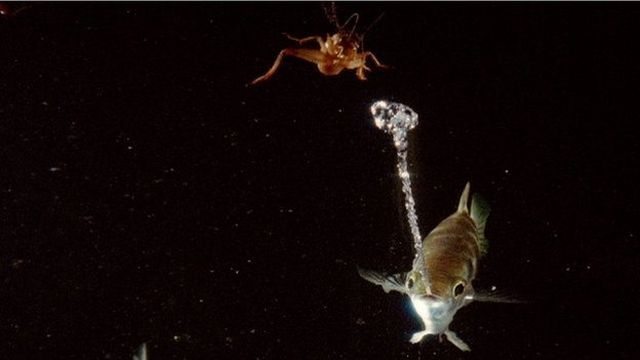 Рыба брызгун: снайпер подводного мира