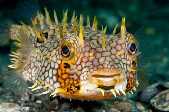 Porcupinefish (Diodontidae).