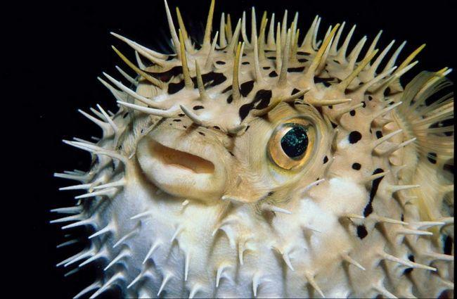 Porodica ježeva, riba broji do 8 rodova distribuira u gotovo svim tropskim morima