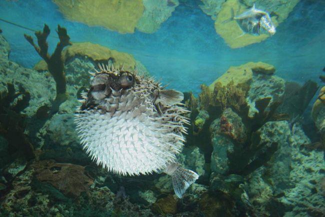 Od ježevi ribe plivaju polako, ne mogu pobjeći od neprijatelja pobjegao, pa su razvili svoje samoodbranu oružje.