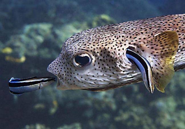 Ove ribe su zainteresirani samo u jestivim dijelovima polipa.