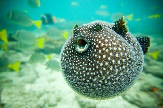 Riba plijen ježeva noću, u vezi sa onim što ima vrlo oštar vid.