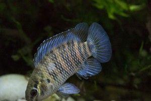 Рыба-хамелеон или бадис-бадис