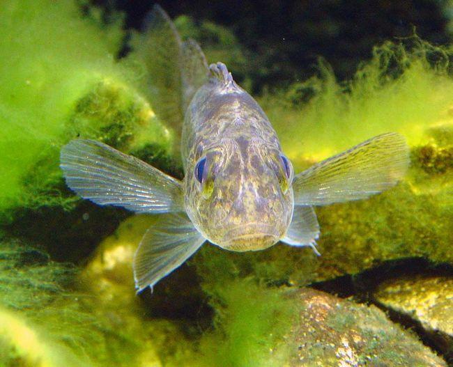 Ерш - рыба средних размеров.