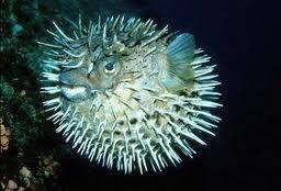 riba jež fotografija