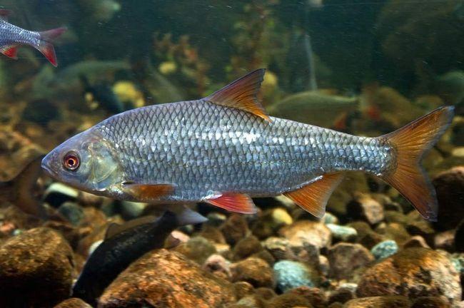 Rudd se smatra veoma hardy ribe.