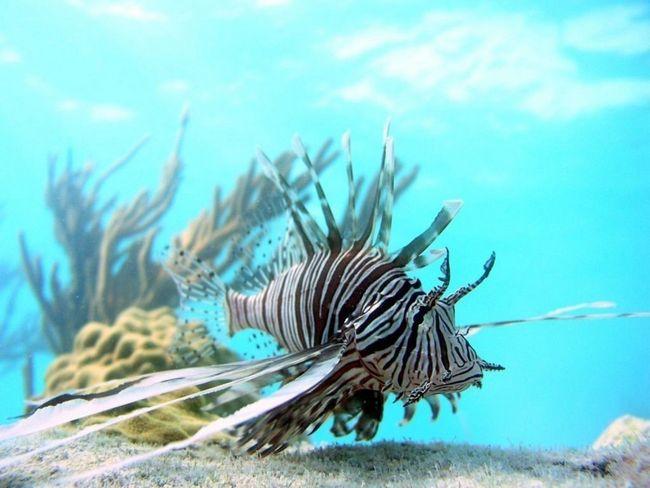 U podvodni svijet ribe bira plitka područja najviše preferiraju koralja.