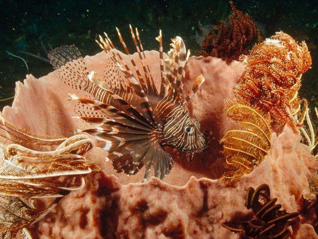 Ne smije se zaboraviti da je lionfish je otrovna!