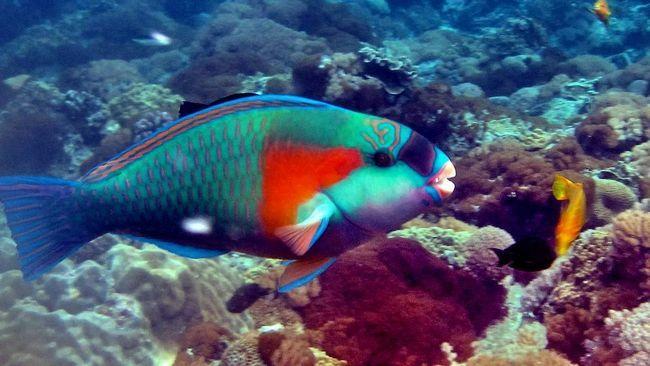Papagaj riba ima šarena boja.
