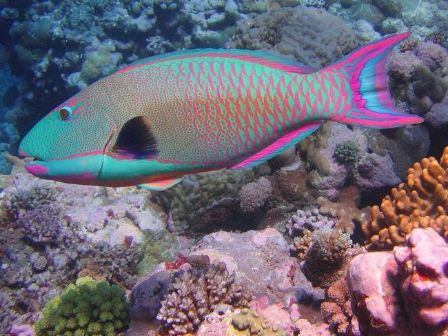 Papagaj riba - medic koraljnih grebena.