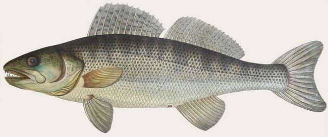 Šťuka - ryby, ktoré majú komerčnú hodnotu.