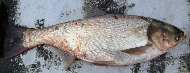 Kapor - veľké ryby.
