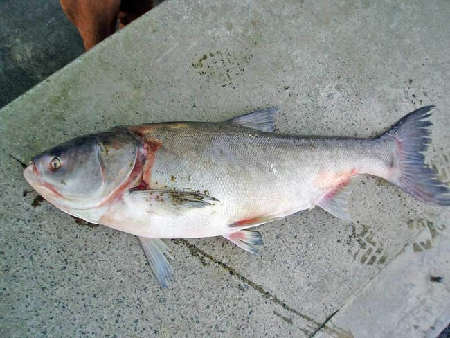 Rybári ulovenej kapor nájsť dobrý úlovok.
