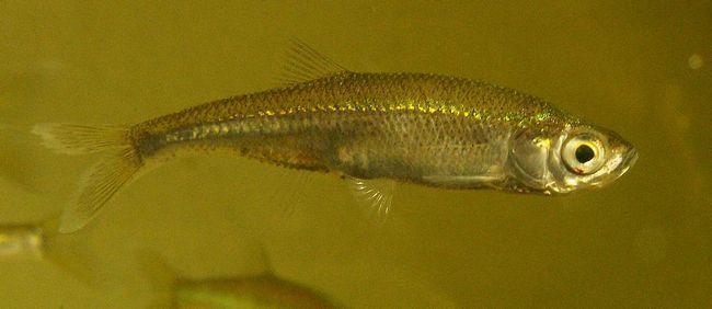 Верховка (Leucaspius delineatus).