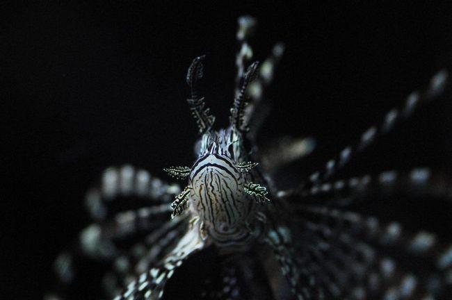 Zebrica, ili prugaste lionfish (lat. Morski paun)