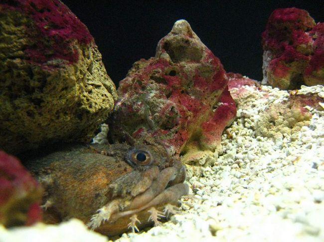 Рыба-жаба ядовита, но не смертельно.
