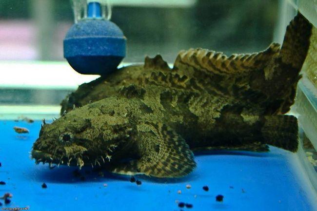 Рыбы-жабы зачастую становятся обитателями аквариумов.