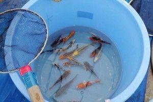 Рыбка лежит на дне: причины и что делать