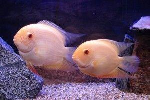 Рыбки северумы — маленькие хищники аквариума